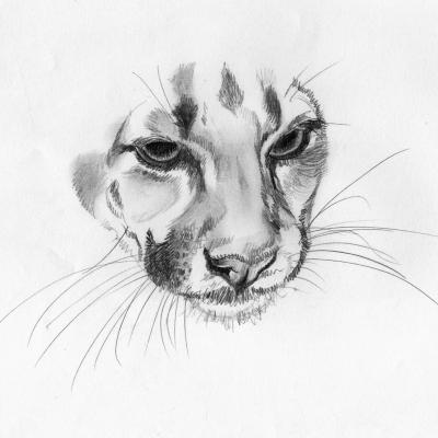 Le regard du puma